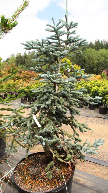 This low-growing noble fir has fabulous, powder-blue foliage. A wonderful landscaping plant which makes a unique substitute for prostrate varieties of Picea pungens.