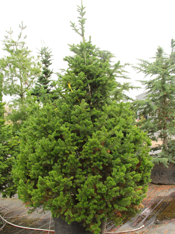 An uncommonly-cultivated species of fir that has very soft and fairly thin needles.