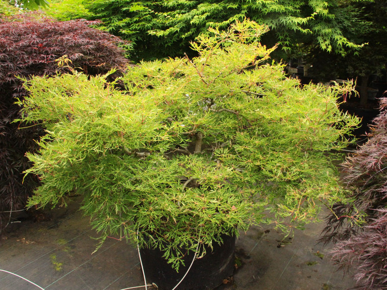 A dwarf laceleaf form with leaves even more divided than 'Green Cascade.' Leaves are green in summer, vibrant gold, orange and red in fall.