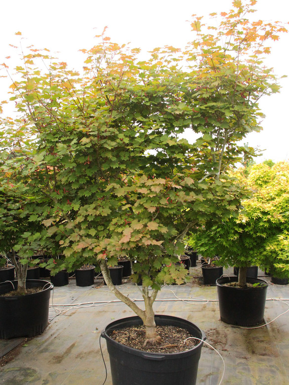 Dramatic foliage distinguishes this small, upright Full Moon maple. Its leaves emerge black-red, brighten to red in late spring and soften to bronzy green with darker edges in mid to late summer.  A rich romp of orange, red and purple leaves completes the display in fall.