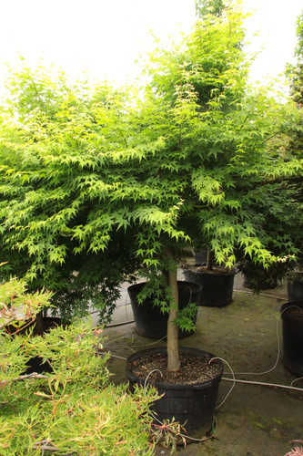 """A Japanese maple with bright yellow-green foliage with bright yellow-green twigs. 'Aoyagi' translates to """"green coral"""" or """"green willow."""" Its green colored bark stands out in winter and pairs well with other highly colored barked maples."""