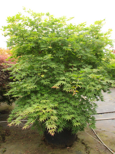 Consistent variegation decorates the large, light green to light brown (and all the colors between), deeply divided leaves of this small, upright broad Japanese maple. One of the best reticulated varieties, it can show so many colors at one time, especially in the spring and early summer. Foliage turns golden orange in fall.  Also know as 'Elmwoodie' and 'Elmwoodii.'