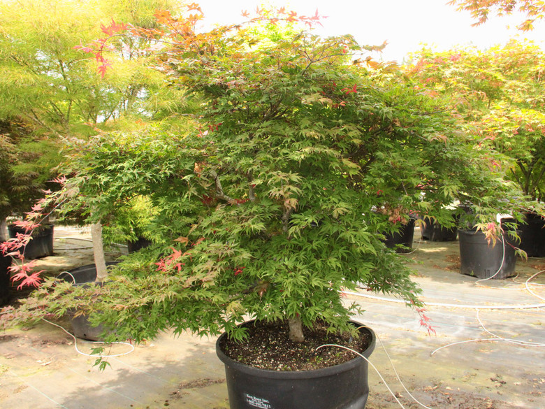 A pink Japanese maple! Reticulated leaves show splashes of strawberry-pink color with deeper burgundy and purple tones underneath. Spring leaves are especially colorful. Mid-summer is when the frosting appears with a white and green color prevailing but pink highlights jumping in on the newer foliage. Fall color brightens to red and rust-orange.