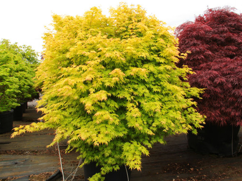 Spring leaves are yellow-orange with red margins. Leaves retain the bright colors, changing to yellow-green with some orange margins in the summer. Fall color is yellow.