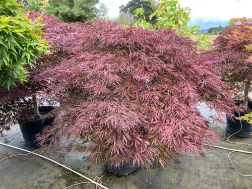 Acer palmatum 'Red Dragon' Specimen 1823