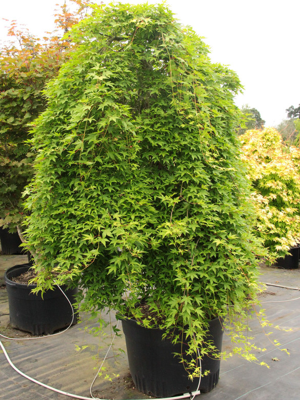 This unusual green Japanese maple has an incredibly pendulous habit, with slender, weeping shoots growing as much as six feet a year!