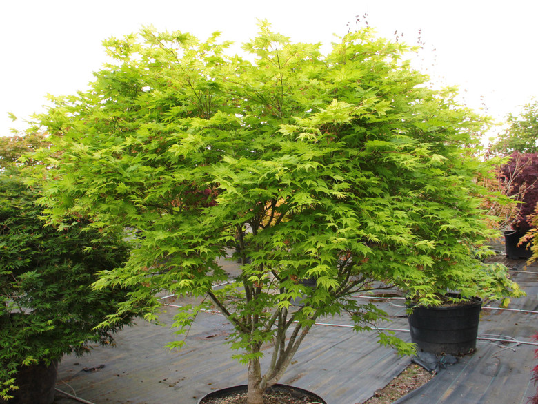 Contrasting colors distinguish this unique Japanese maple. Creamy white spring leaves are decorated with prominent green veins; as they turn green in summer, the veins darken too. Orange and red complete the two-tone show in autumn. Protection from full sun, which can burn the leaves, benefits the beautiful, medium size tree.