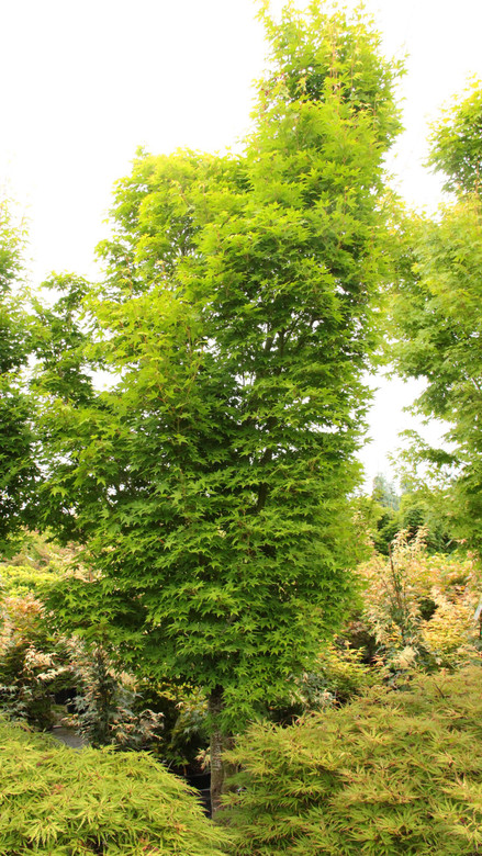 Light-green foliage emerges a yellow-green with pink-tipped leaf edges. A beautiful, bushy and narrow tree with small leaves.