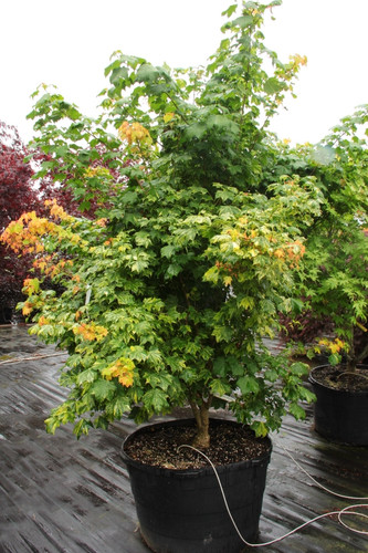 Broad leaves on this upright maple are splashed with a gorgeous creamy-yellow variegation. A rare maple that really makes a statement in the landscape!