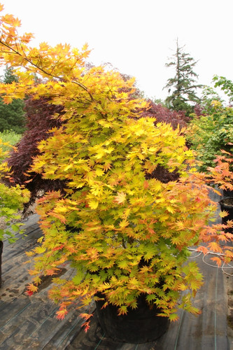 Vigorous, versatile and unbelievably easy to grow, this small, dramatic Full Moon maple boasts orange-red highlights on yellow leaves. The unusual coloring, strongest in full sun, lasts from when leaves emerge in spring until they go rich orange-red in fall.