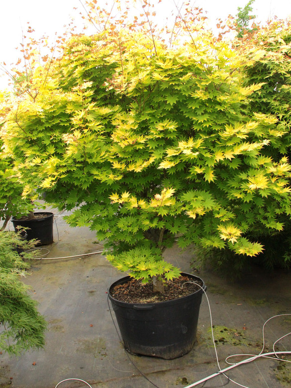 Spring leaves are bright yellow with pink-orange margins and pink petioles. Summer color is yellow which does not burn in full sun. In shade leaves are yellow-green.