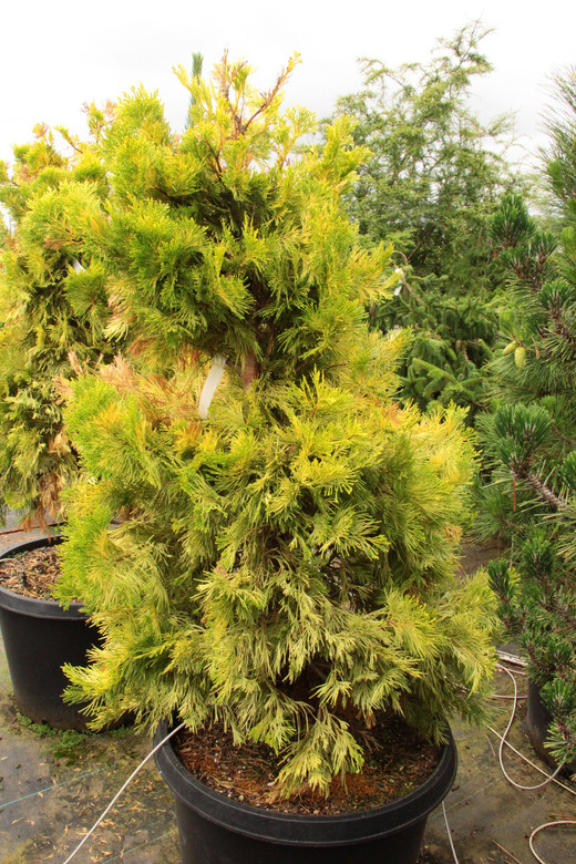 Rich, golden-yellow color takes on an orange cast during the cold days of winter. This slower-growing, upright tree really glows in the garden! Excellent, scale-like foliage adds a nice texture to this choice conifer.
