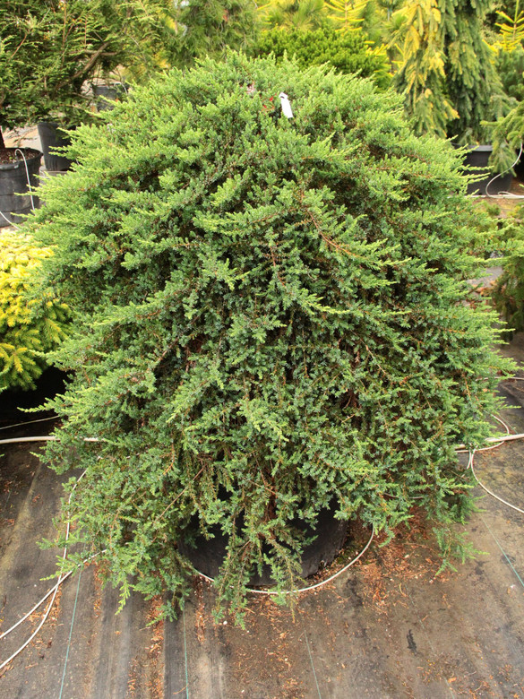 This thick, ground-hugging juniper forms a mantle of green foliage as it spreads horizontally. A selection from the U.K.
