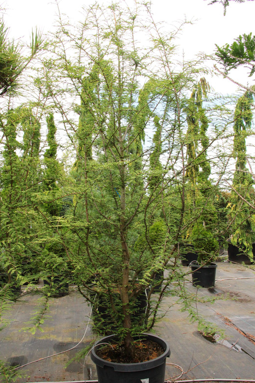 A deciduous, pyramidal formed Dawn Redwood with cream-white variegation on light green foliage. A nice focal plant from the Netherlands!
