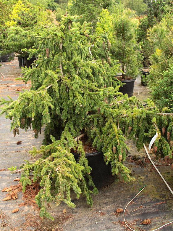 An upright growing tree with undulating branches and profuse cone production. Cones appear mostly at the very tips of branches, beginning red in the spring, maturing to brown. A very curious yet popular tree.