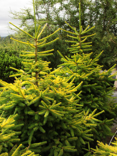 A bright yellow Norway Spruce found as a result of the intentional cross of 'Acrocona' and 'Gold Drift' by Bob Fincham. Fairly symmetrical growth and distinctive golden color set this one apart from the other selections.