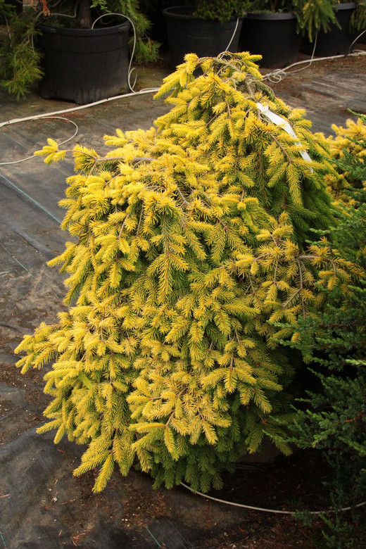 A slow-growing, golden-yellow spruce found as a seedling from the cross between 'Acrocona' and 'Gold Drift' by Bob Fincham.
