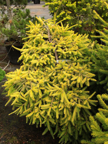 A rather low-growing spruce with golden-yellow foliage. Found as a seedling from the intentional cross-pollination of 'Acrocona' and 'Gold Drift'. Introduced by Bob Fincham of Coenosium Gardens.