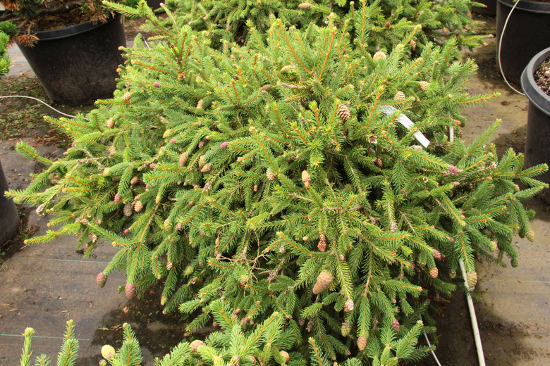 This dwarf spruce was found as a witch's broom on Picea abies 'Acrocona'. It produces multiple red cones every spring! The bright green growth and the ornamental cones make this a lovely plant for a small garden.
