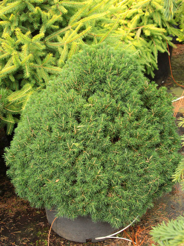 A very dense, compact pyramid-shaped spruce with dark-green, congested foliage and varied needle length.