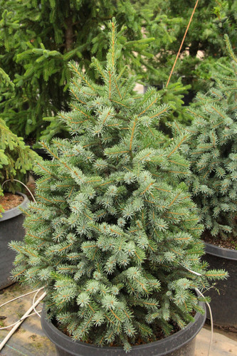 A dense, pyramidal spruce with silvery-blue and green needles. This unique species is showcased on a dwarf scale, making this variety an excellent option for any collector's garden.