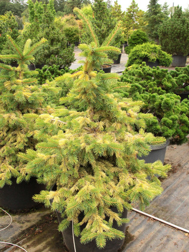 A dwarf golden form found by Larry Stanley of Stanley & Sons Nursery in Boring, OR. Is brighter than Picea pungens 'Aurea' and does not burn in full sun.