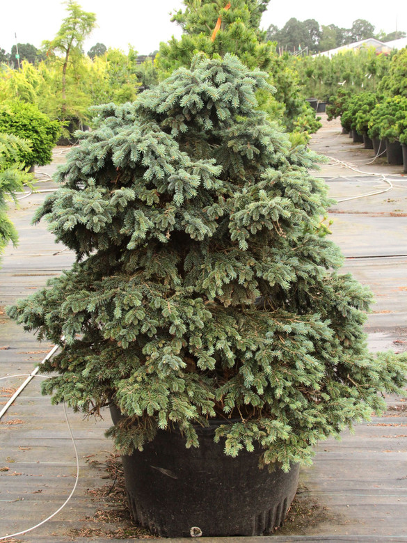 This low-growing spruce has blue-green foliage and a compact, mounding habit. If rooted from cuttings, it grows much more slowly; when grafted, it tends to be semi-upright.