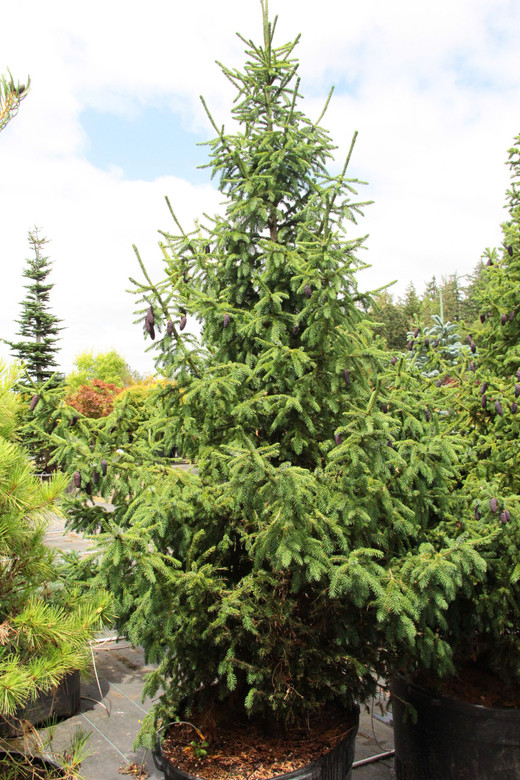 This large spruce is incredibly rare, native only to a remote area of Southern China! It has fairly thick, dark-green needles.