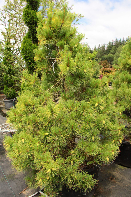 Beautiful year-round, this medium-size, broadly pyramidal pine gets even more dramatic in winter, when the light-green summer needles turn a vibrant golden yellow that continues to intensify in colder weather.