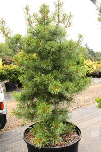 This upright Korean Pine has long blue-green needles.