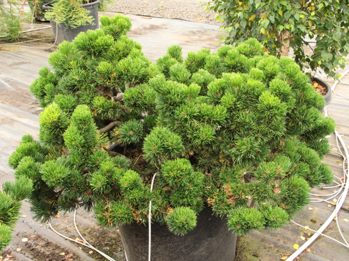 Dark-green needles are very dense on this compact pine. Many of the branches widen at the tips, giving it an almost fascinated appearance! A terrific conifer that adds an interesting texture and year-round color to the garden.