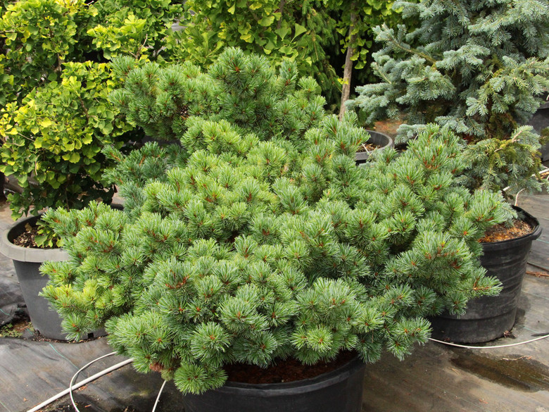 Short, blue-green needles adorn the branches of this attractive dwarf pine. Dense bushy growth makes the plant even more appealing, while a windswept form gives a Japanese aesthetic to the plant.