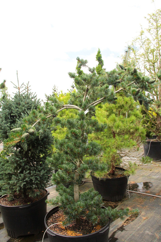 An attractive layered look comes from this pines horizontally growing secondary branches. The tiered effect is accentuated by heavy cone production, which weighs down the ends of the branches and gives the tree an especially aged look.