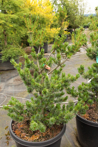 A fairly slender, upright pine with bright blue foliage and fairly horizontal branching.