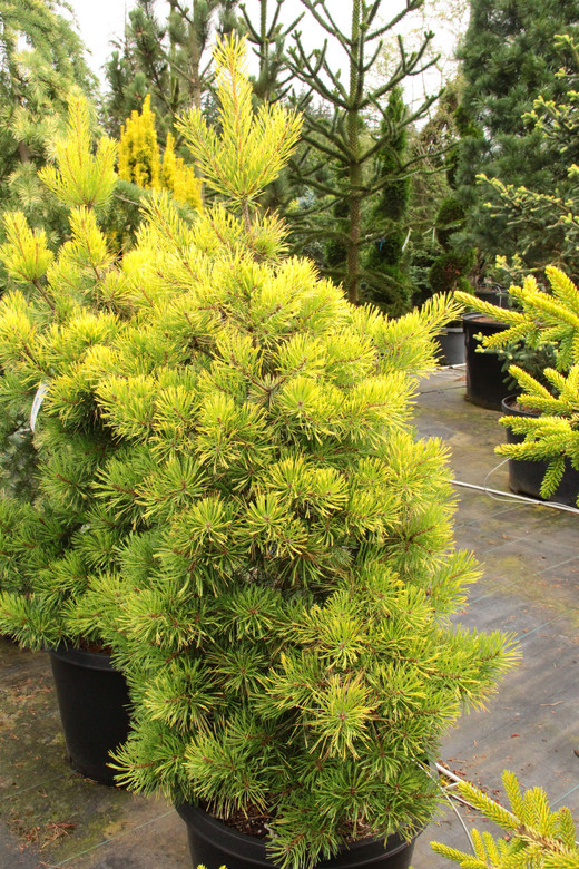 Golden-yellow foliage on this slow-growing pine gives the tree a bright color tone, intensifying in winter. Found as a branch mutation in Sweden by Brita Johansson.