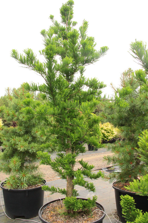 Deciduous. A dwarf bald cypress that only grows about 4 inches a year. Small rich green tufts of foliage. Conical to broad conical form.