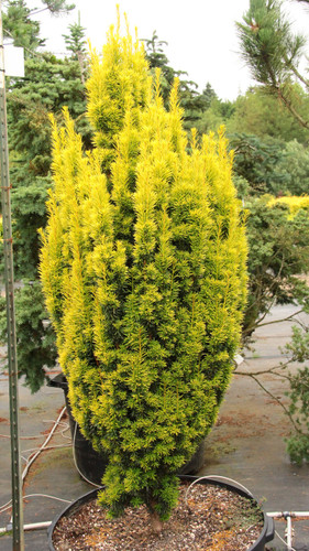 Brilliant yellowish-white needles on this columnar yew. A slow-growing that goes great in just about every landscape. Also listed by some as 'White Icicle'