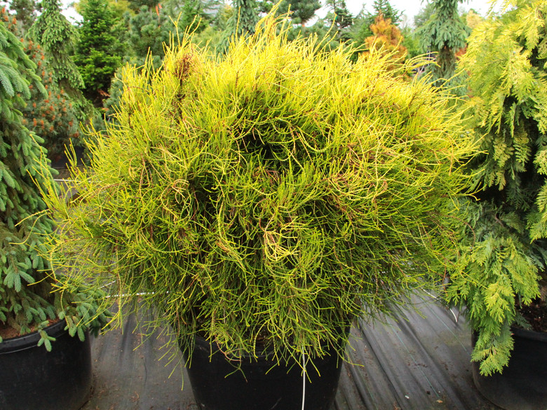 A phenomenal new introduction with stringy light green and golden foliage that brightens to orange-butterscotch in the winter. New growth cascades over old, creating a fountain of foliage strings.