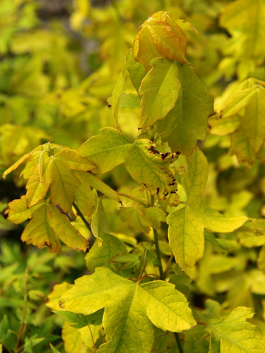 This stunning variety has bright golden leaves throughout the growing season, brightest in full sun.