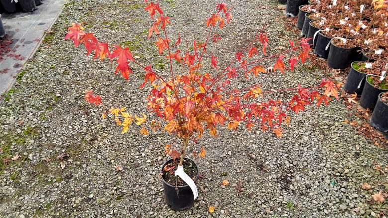 A red-twig variety with increased heat tolerance, making this cultivar great for the southeastern US. Small green leaves give way to bright twigs in winter, putting on quite a show.