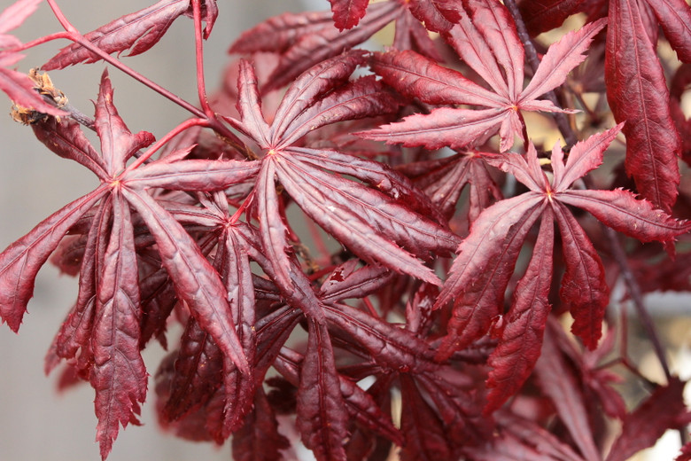 A deep red laceleaf cultivar that holds its color in heat better than some. Nice delicate foliage with mounding habit.