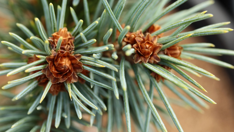 An excellent dwarf selection with short, bright blue needles that are fairly long. One of Jerry Morris's Rocky Mountain selections.