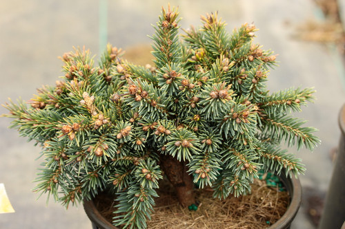 Bright blue, compact foliage on this dwarf spruce is very densely set. This cultivar was found as a witch's broom by an elderly woman named Helen Rysse near her condominium in Ann Arbor, Michigan.