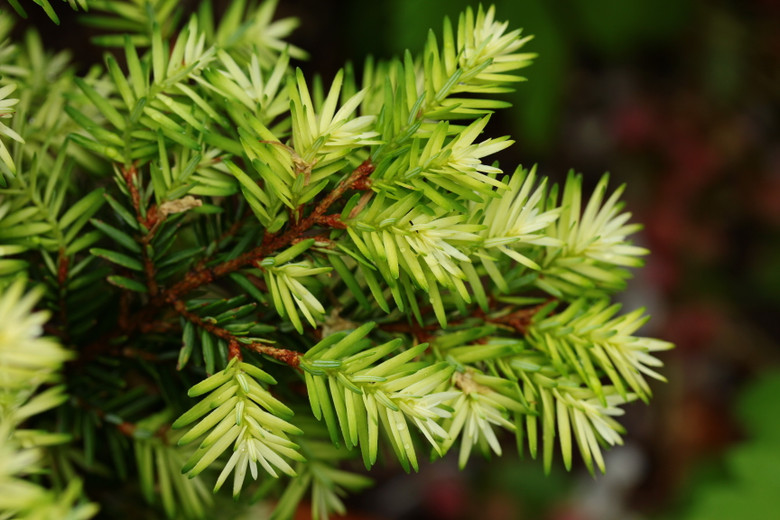Betty Rose is one of the most delightful, slow-growing hemlocks. With its bright white new growth, it effectively lights up a shady part of the garden. The soft foliage and slow-growth rate add to its desirability!
