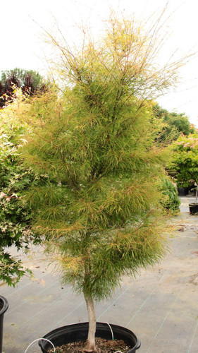 A unique, very slow-growing Japanese maple, this dwarf green cultivar has very narrow, string-like leaves, not much wider than leaf veins.
