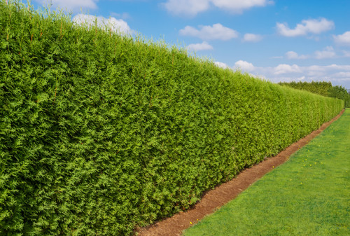 Emerald Green Arborvitae is a slow-growing evergreen conifer that naturally grows into a tall, narrow columnar shape. It makes an excellent hedge due to its small footprint, lovely color, and low care needs. It is also very cold-hardy, making it suitable to grow in most parts of the USA.