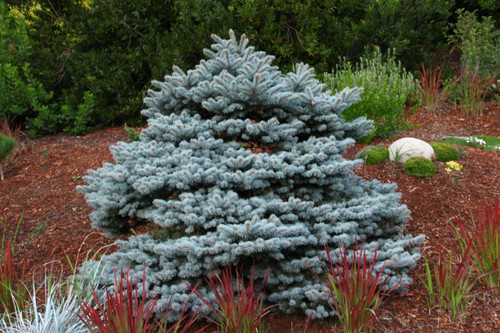 This compact blue spruce is globose when young. It eventually matures into a stately tree with tiered branching and a squat pyramidal shape.