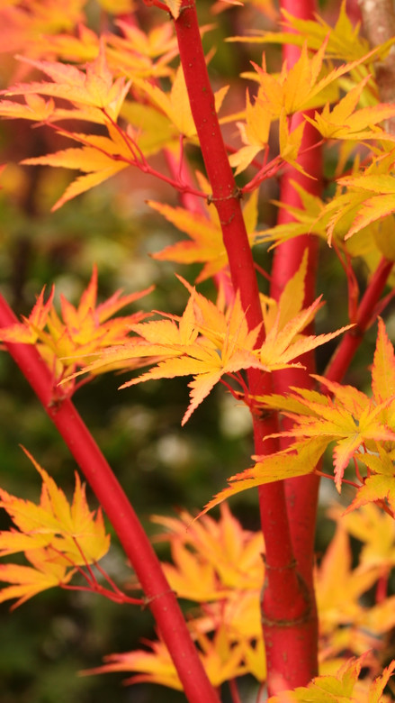 Highly regarded for its outstanding, almost fluorescent coral bark, this upright, spreading Japanese maple produces a fabulous show all four seasons. Red margins decorate the yellow-green spring leaves that gradually change to bright green in summer.