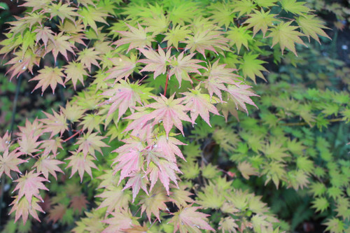 A fairly slow-growing form of Siebold maple with gorgeous fall coloration. An excellent choice for smaller gardens.