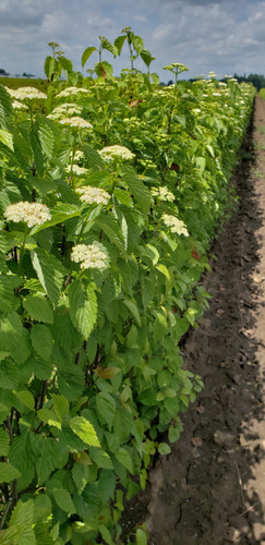 Arrowwood Viburnum is a North American native multi-stemmed shrub. It has profuse white flowers in spring that attract hundreds of honeybees and butterflies. Later they develop small, blue fruits that feed birds. It responds well to pruning to form a nice, thick hedge.